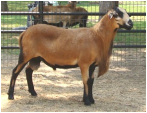 Barbados Blackbelly Ram Lone Star Sumo